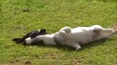 щенок и ворона