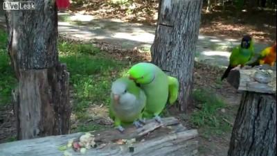 Попугай - соблазнитель