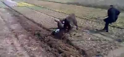 Разъярённый бык , фермер и собака ... Китай