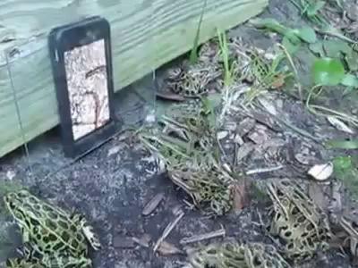 Развод лягушек