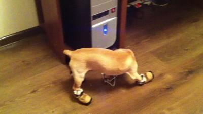 Не любят обувь собаки