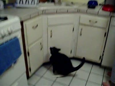 Голодный толстый кот