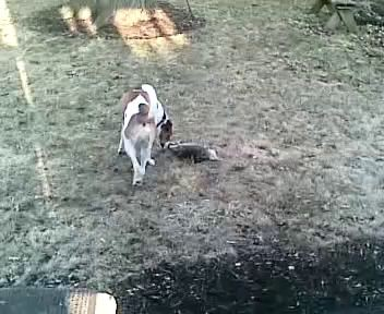opossum playing dead #1