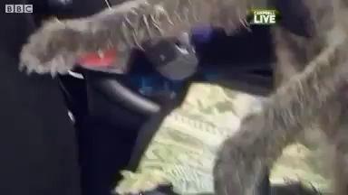 Сенсация - собака водитель