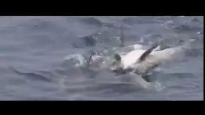Дельфины помогают раненому другу