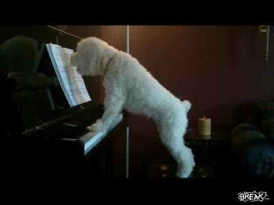 Пёс играет на пианино