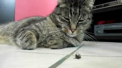 Ленивый кот и муха
