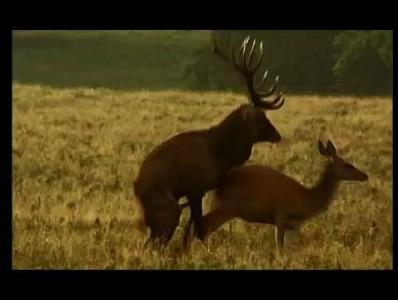 Deer Mating, Dyrehaven, Denmark