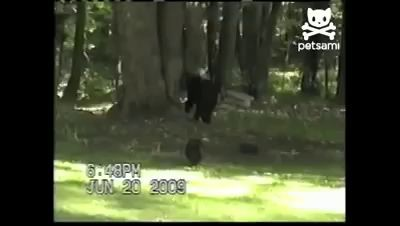 Кот прогнал медведя