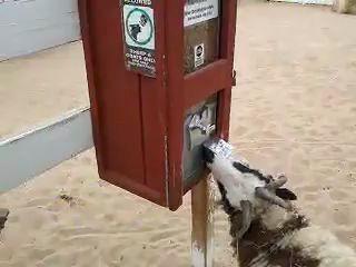 Смышленая коза и автомат