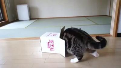 Милый толстый котик и маленькая коробочка