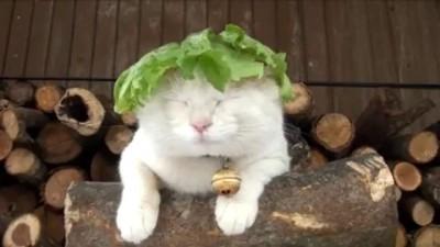 Amazing Lettuce White Cat