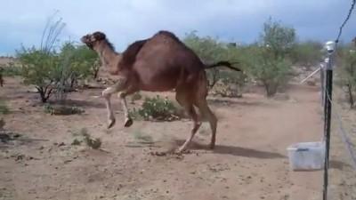 Верблюд и коробка