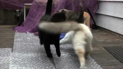 Кошки против пузырьковой обертки