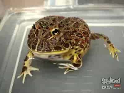 Боевая жаба
