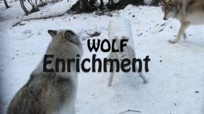 Волки и макет оленя