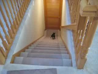 Собака быстро спускается по лестнице