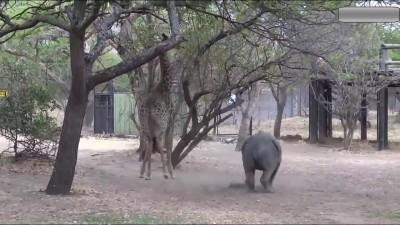 Носорог и жираф.
