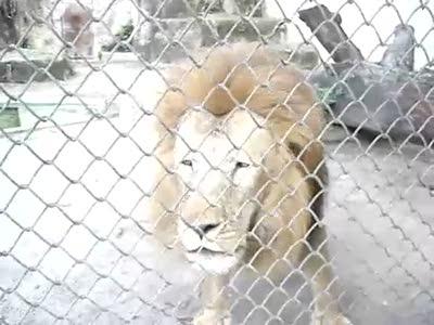 Гавкающий лев