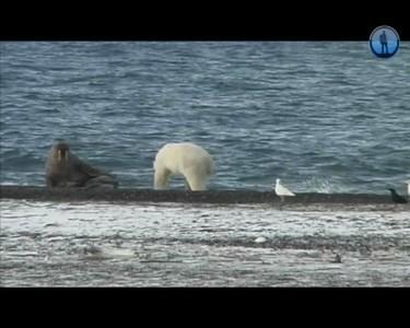 белые медведи за минуту съели тюленя