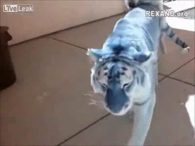 собака пристает к тигру ...