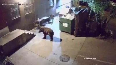 Медведь ворует мусорные баки у ресторана.