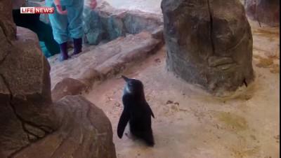 Пингвин учится плавать