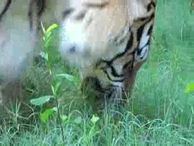 Тигр ест траву