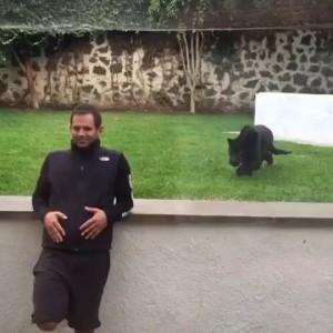Пантера нападает