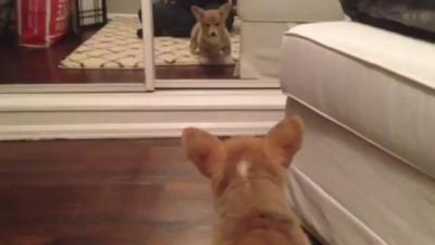 Корги увидел себя первый раз в зеркале