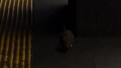Злая крыса атаковала человека в Нью-Йоркском метро