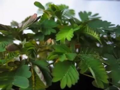 Удивительный цветок - мимоза стыдливая