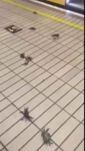 Crab invasion on the Subway