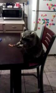 Енот обедает