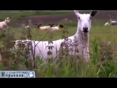 Видео прикол Бараны блеют