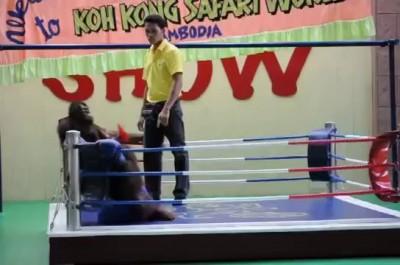Орангутанги на ринге