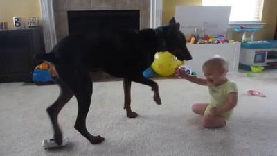 Доберман играет с ребенком