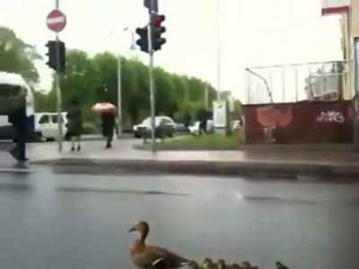 Семья уток на дороге в Риге