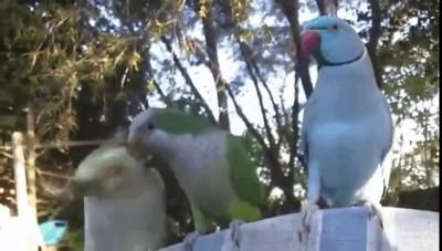 Попугаи и орех