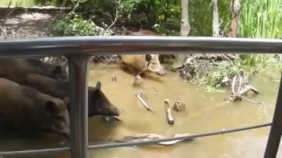 New Orleans Alligator Devours Pig (Jacare devora porco nos EUA)