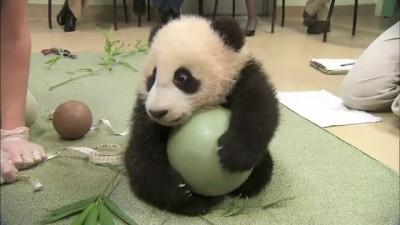 Панде подарили мячик