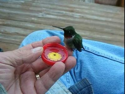 Колибри пьёт воду.