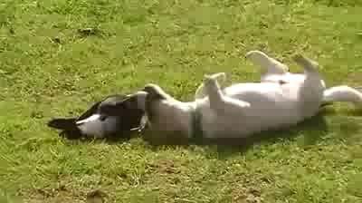 ворона и собака