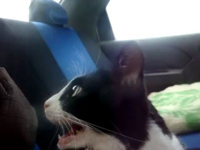 Кошка впервые едет в машине
