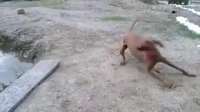 Собака изводыдоставака