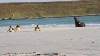 Морской котик и пингвины