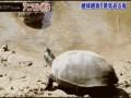 черепаха и крокодилы