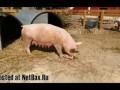 Свинья сжирает своего поросенка