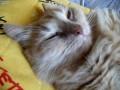 Мой храпящий кот Персик