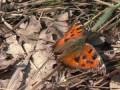 Дневная бабочка крапивница